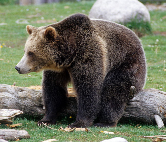 Grizzly bear sitting up - photo#17